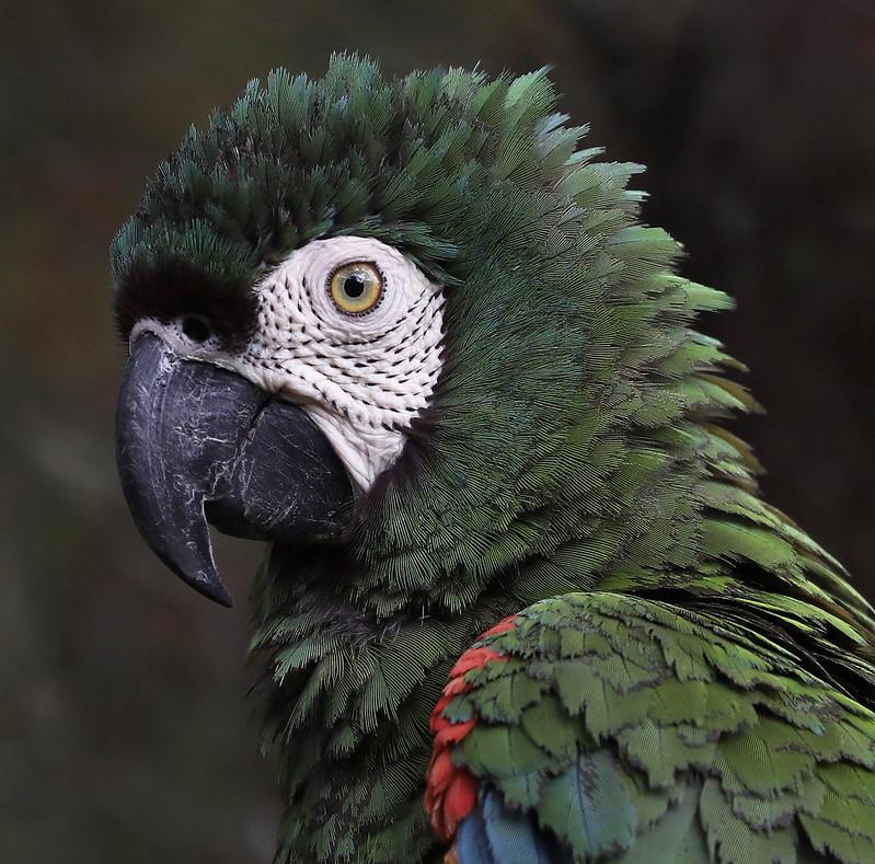 Chestnut-fronted Macaw_Ara severa_Colombia Llanos_Ascanio_DZ3A3121