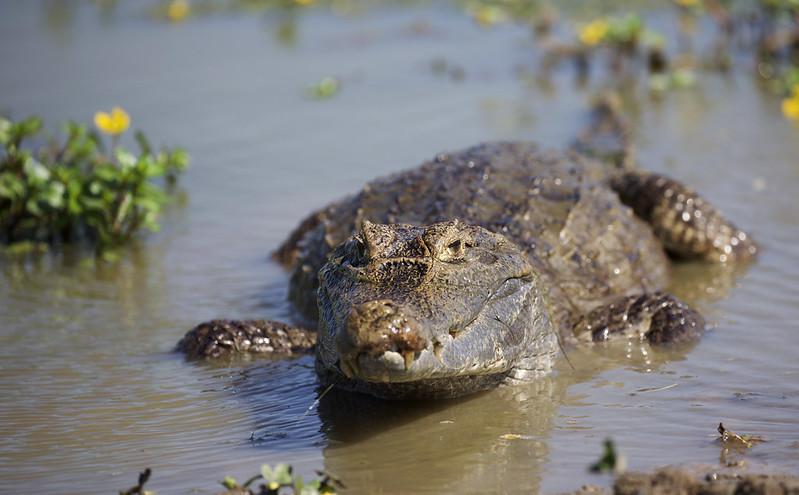 Spectacled Caiman_Caiman crocodilus_Ascanio_Colombia_DZ3A1553
