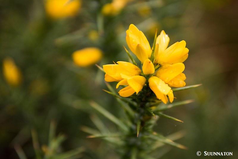 Snowdonian kansallispuisto, piikkiherne