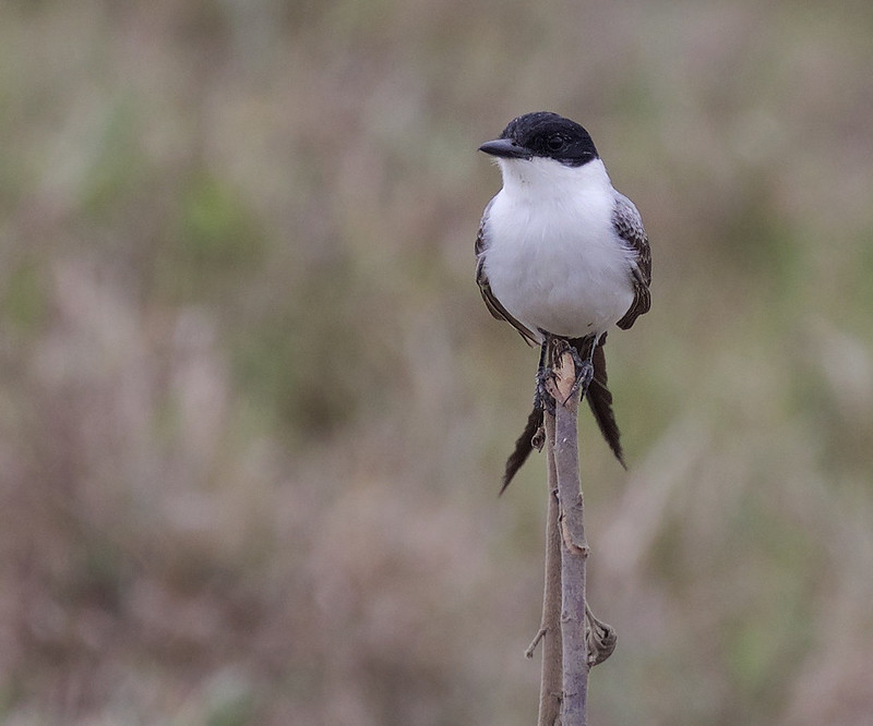 Fork-tailed Flycatcher_Tyrannus savana_Ascanio_LLanos Colombia_DZ3A3118