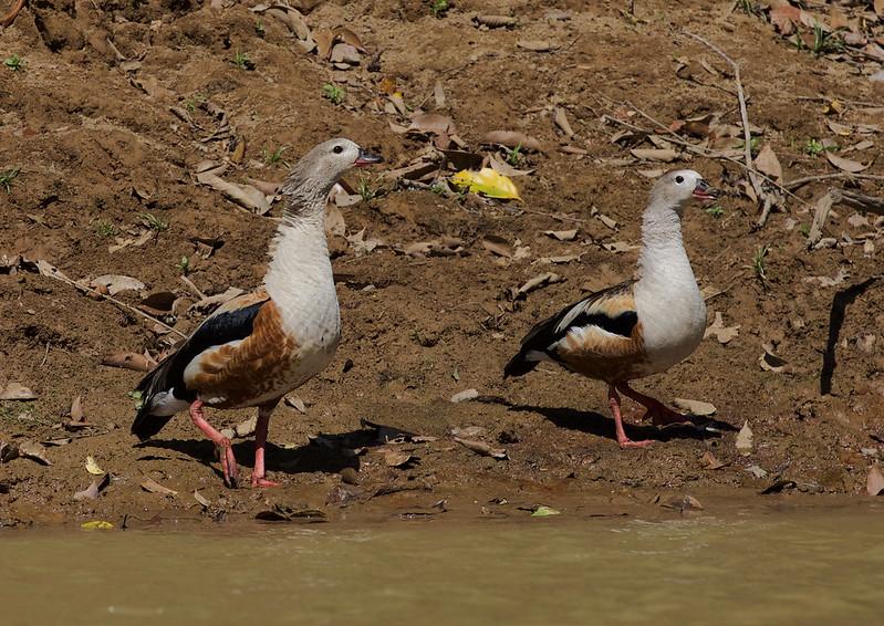 Orinoco Goose_Neochen jubata_Ascanio_LLanos Colombia_DZ3A2119