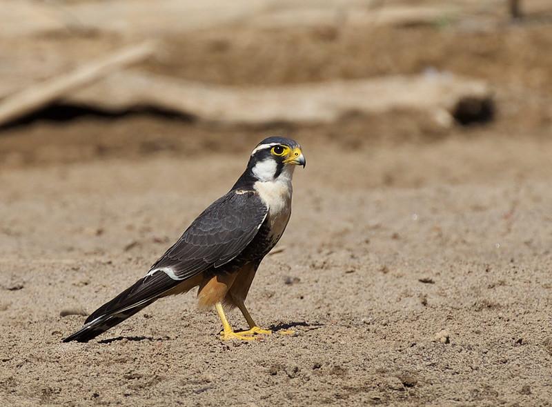 Aplomado Falcon_Falco femoralis_Ascanio_Llanos Colombia_DZ3A2202
