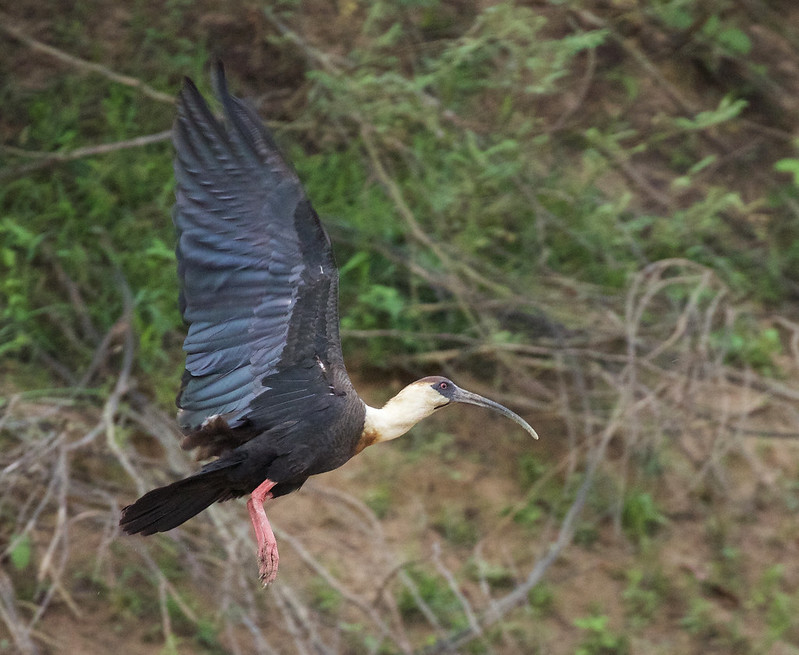 Buff-necked Ibis_Theristicus caudatus_Colombian llanos_Ascanio_DZ3A3408