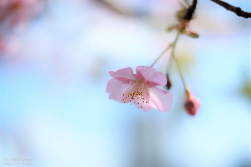 河津桜 20200221-DSCT1645 (2)