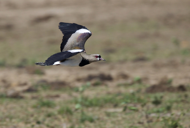 Southern Lapwing_Vanellus chilensis_Ascanio_Colombia_DZ3A1682