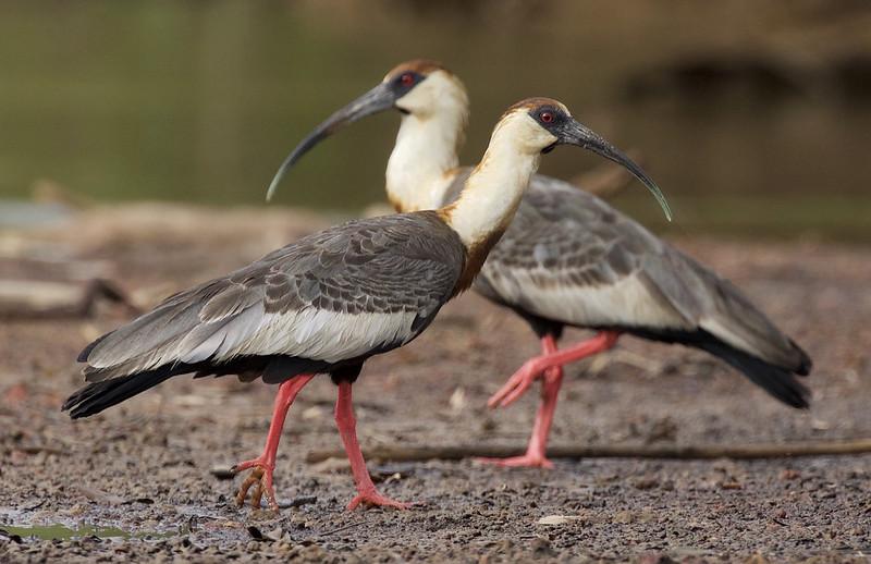 Buff-necked Ibis_Theristicus caudatus_Colombian llanos_Ascanio_DZ3A3692