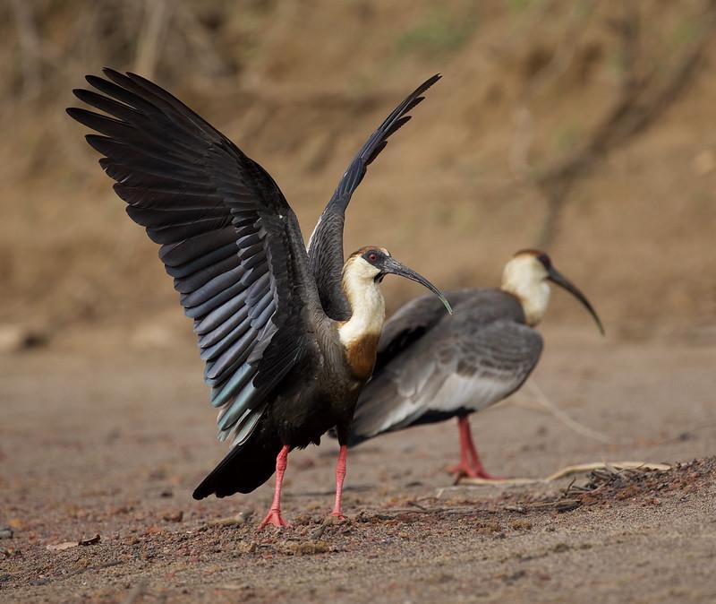 Buff-necked Ibis_Theristicus caudatus_Colombian llanos_Ascanio_DZ3A3707