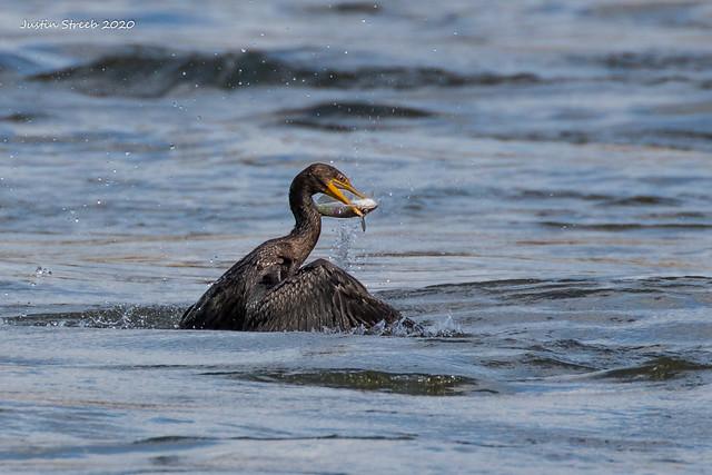Cormorant With Fish