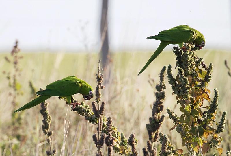 Blue-crowned Parakeet_Thectocercus acuticaudatus_Llanos Colombia_Ascanio_DZ3A2660