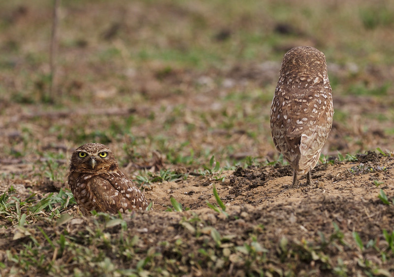 Burrowing Owl_Asthenes cunicularia_Ascanio_Colombia_DZ3A2729
