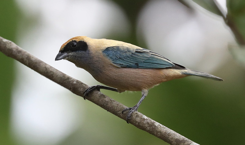 Burnished Buff Tanager_TAngara cayana_Ascanio_Colombian LLanos_DZ3A3268