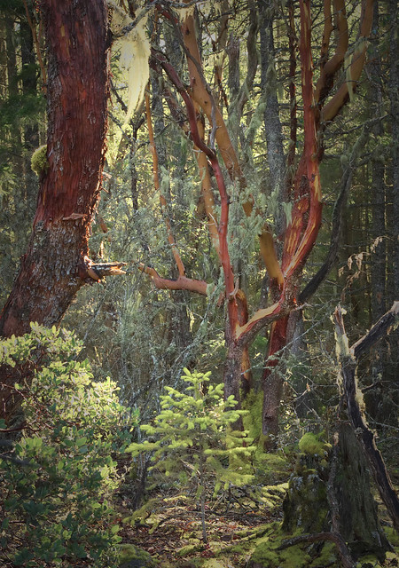 Arbutus trees and young Douglas Fir in soft light