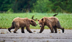Playful Grizzly cubs taking a break from digging for shellfish  (由  Archie Richardson