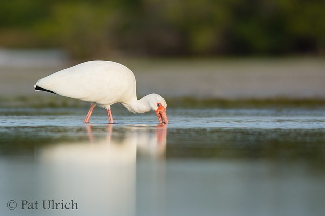 White ibis feeding with reflection