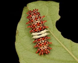 Chalcosiine Day-flying Moth Caterpillar (Cyclosia midama, Chalcosiinae, Zygaenidae)