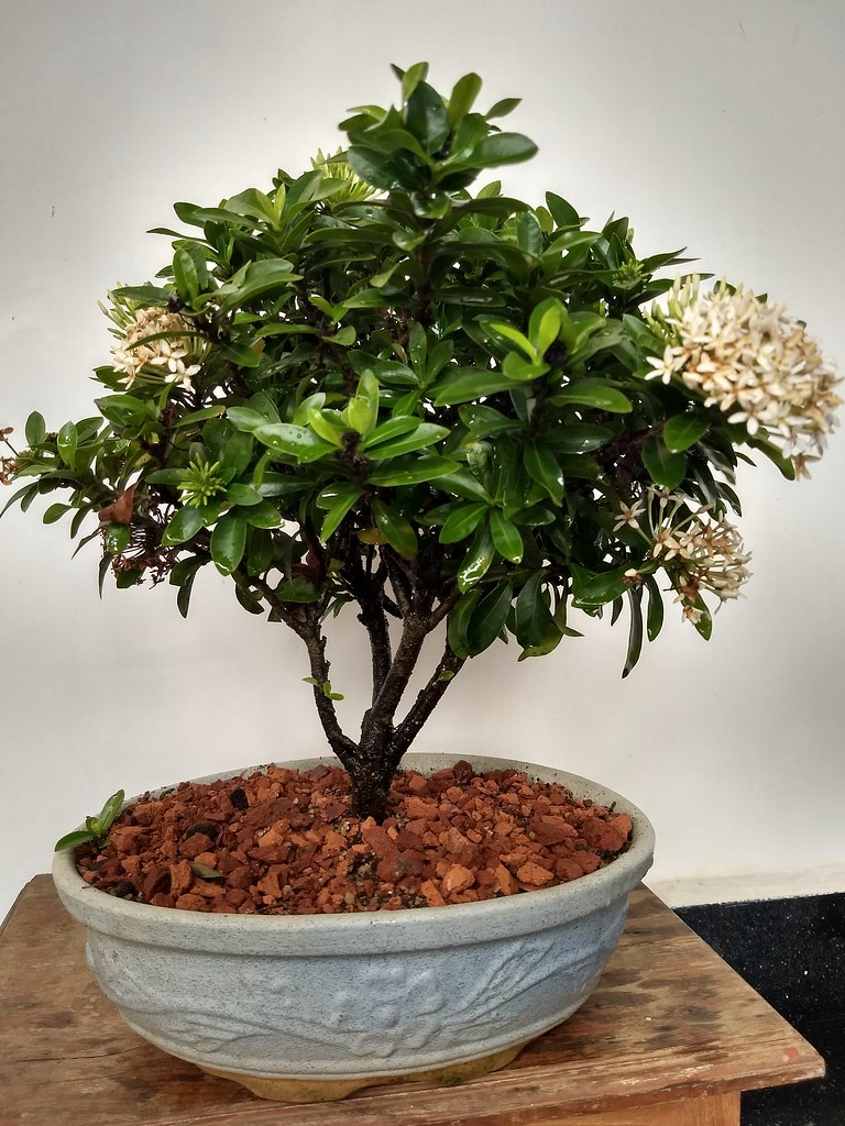 Exora bonsai bloomed .Tamarind Bonsai kottayam -