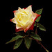 P2211630 Origarmi rose