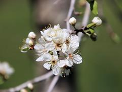 Mexican Plum (Prunus mexicana)  (由  Pauline Z