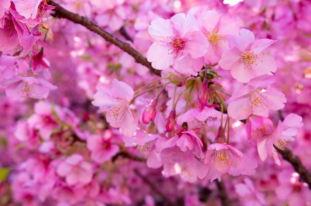 2020 河津桜