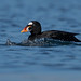 Surf Scoter- DP-