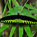 Rajah Brooke's Birdwing - Photo (c) Green Baron Pro, some rights reserved (CC BY-NC)