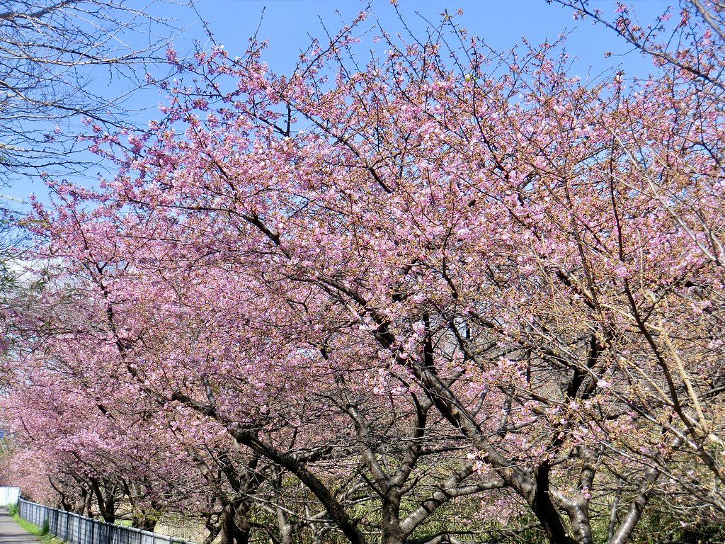 満開の河津桜-1  Full bloom cherry blossoms