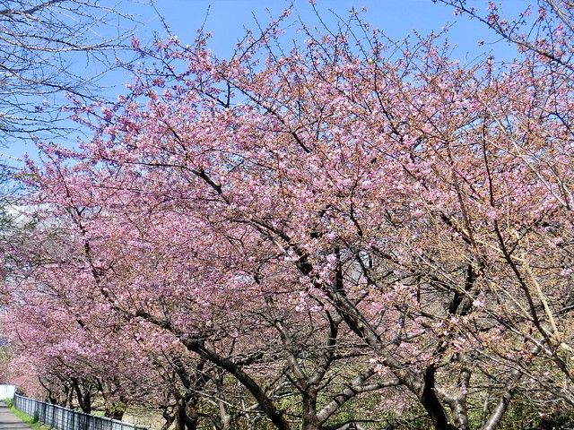 満開の河津桜-1  Full bloom cherry blossoms