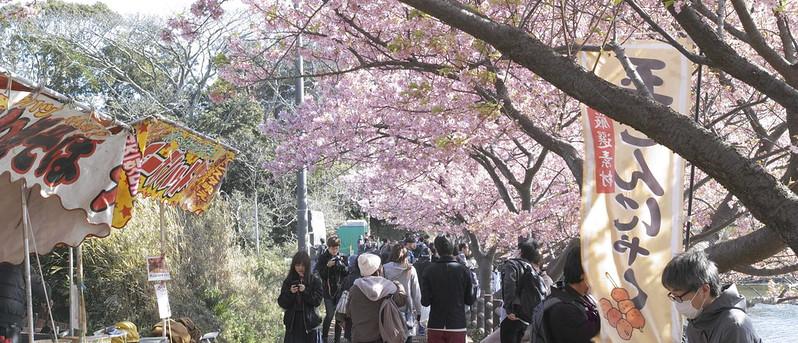 三浦海岸河津桜まつり