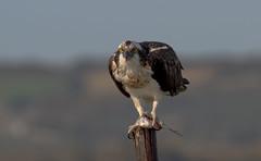 Osprey - Falco Pescatore (Pandion haliaetus)