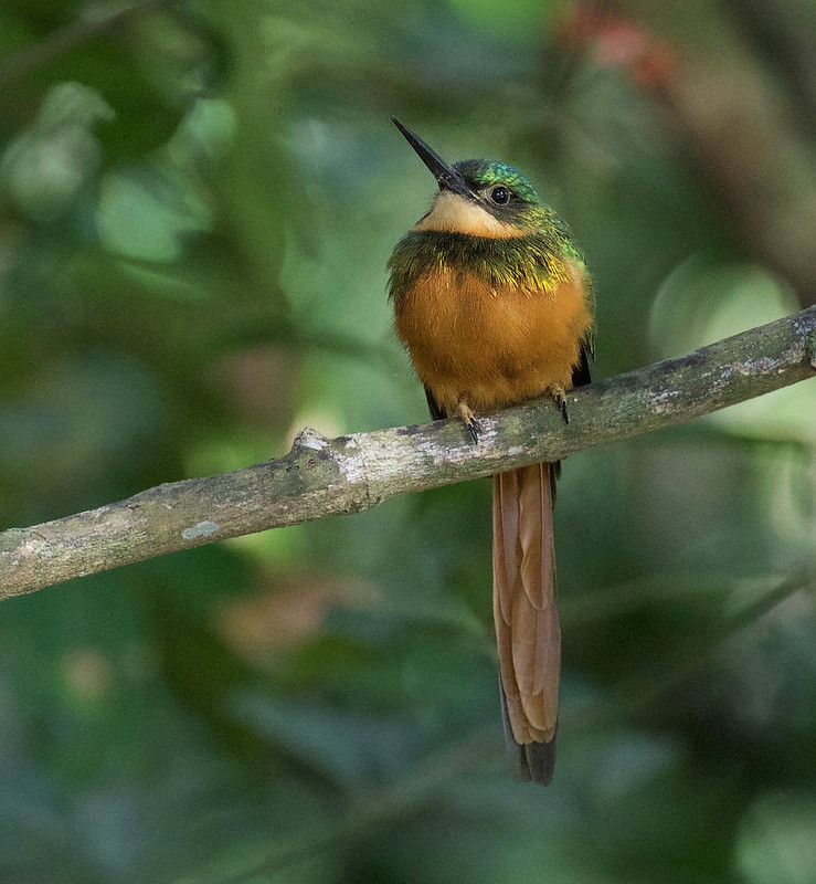 Rufous-tailed Jacamar_Galbula ruficauda_Ascanio_Llanos Colombia_DZ3A1975