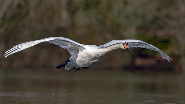 Swan over lake