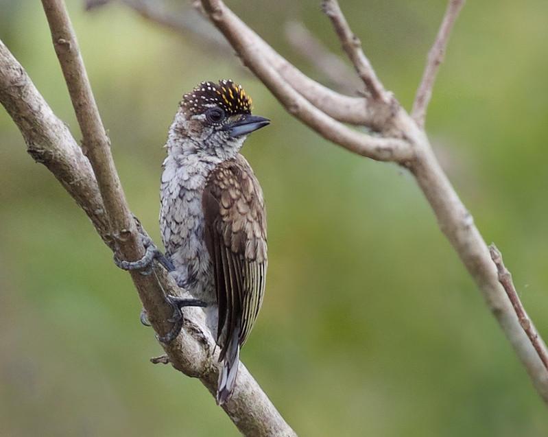 Scaled Piculet_Picumnus squammulatus_Ascanio_Llanos Colombia_DZ3A3270