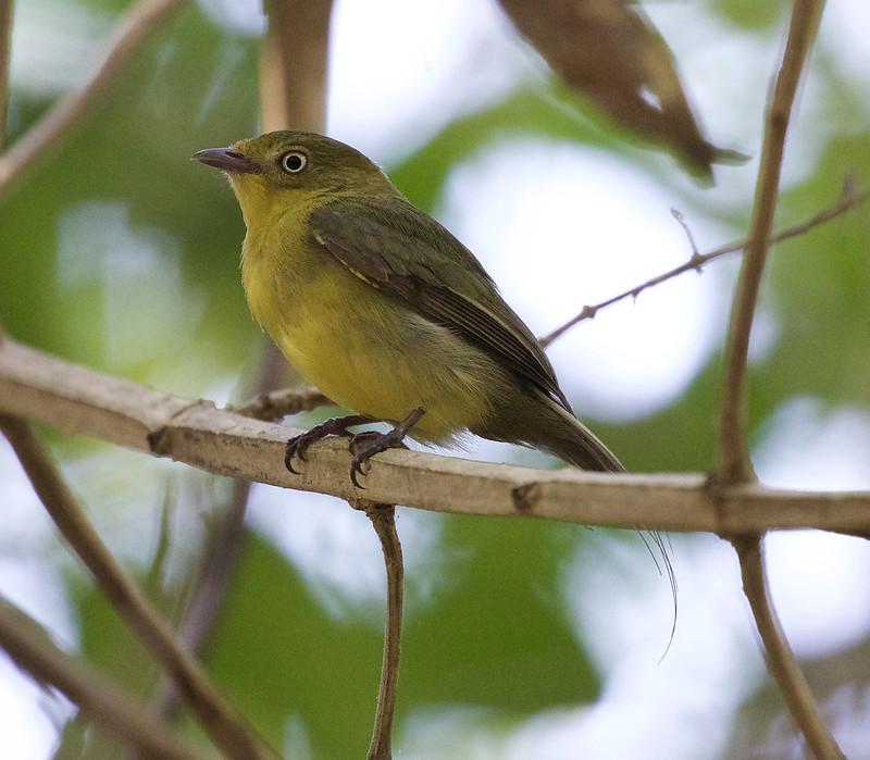 Wire-tailed Manakin_Pipra filicauda_Ascanio_Colombia Llanos_DZ3A2064