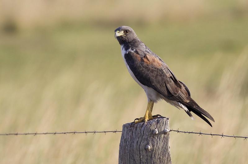 White-tailed Hawk_Geranoaetus albicaudatus_Ascanio_LLanos Colombia_DZ3A2557