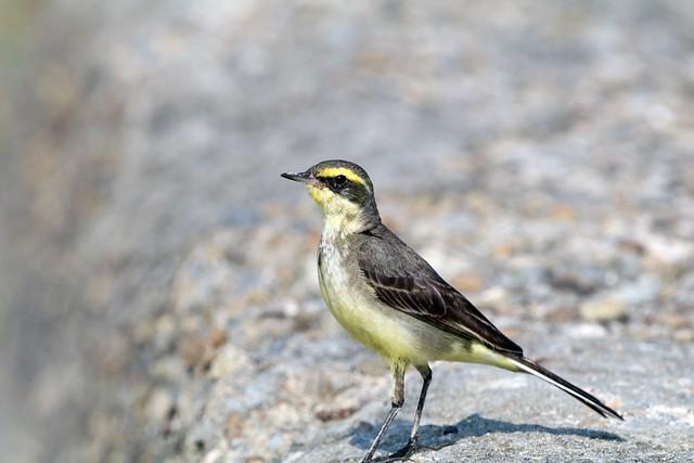 東方黃鶺鴒(Eastern Yellow Wagtail)