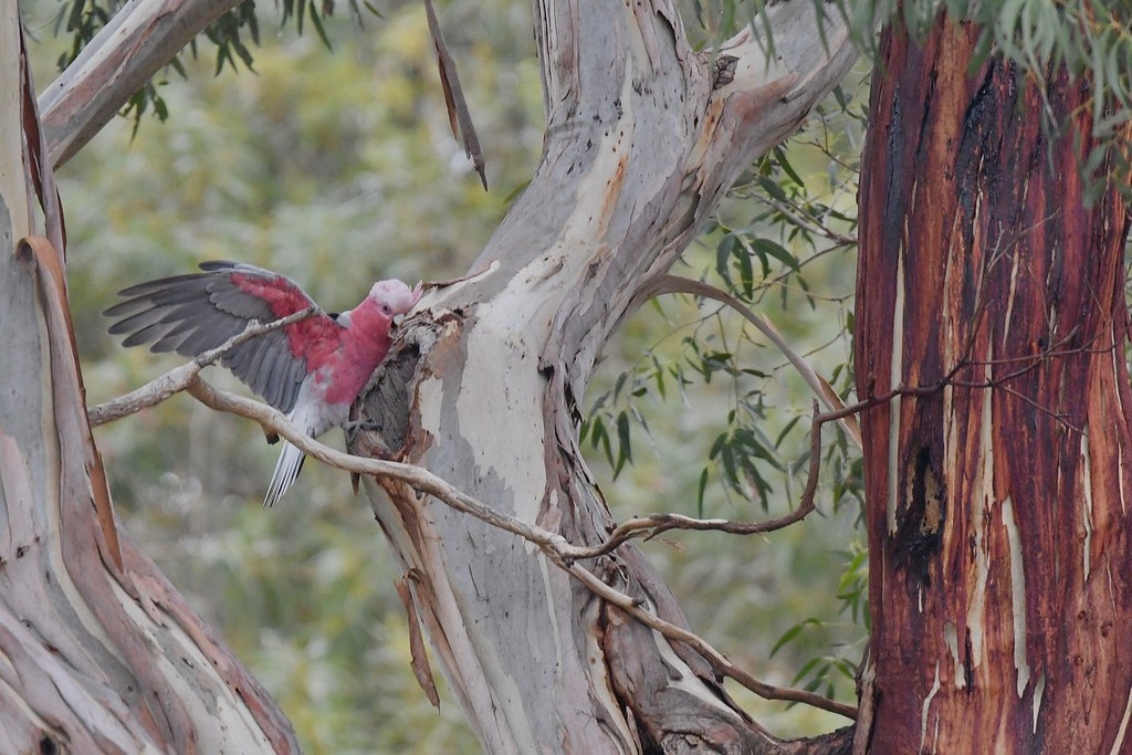 Galah ( Hello are you home call )