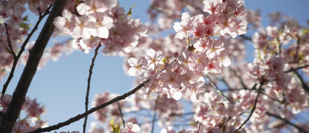 まつり 三浦 海岸 桜 2021/2/13~2/28 三浦海岸桜まつり(中止)
