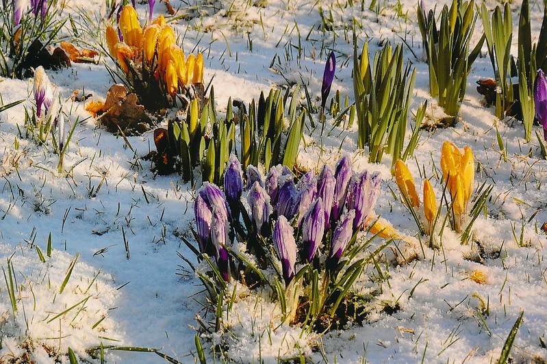 Frühlingsboten im Schnee