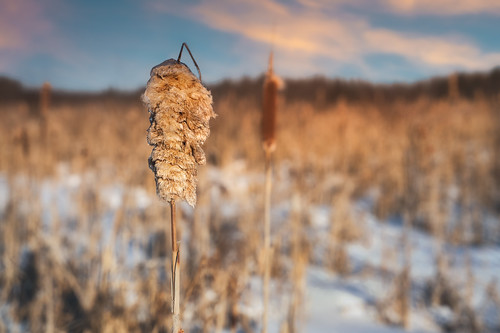 canada flickr moncton newbrunswick shawnharquail sunset cattail clouds depthoffield dof ice landscape macro nature outdoor shawnharquailcom snow winter