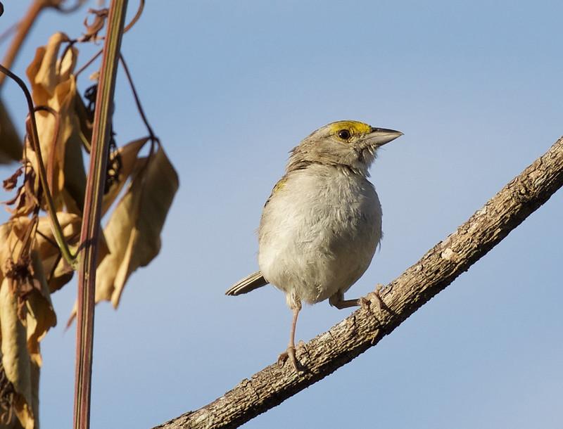 Yellow-browed Sparrow_Ammodramus humeralis_Ascanio_Llanos Colombia_DZ3A1887
