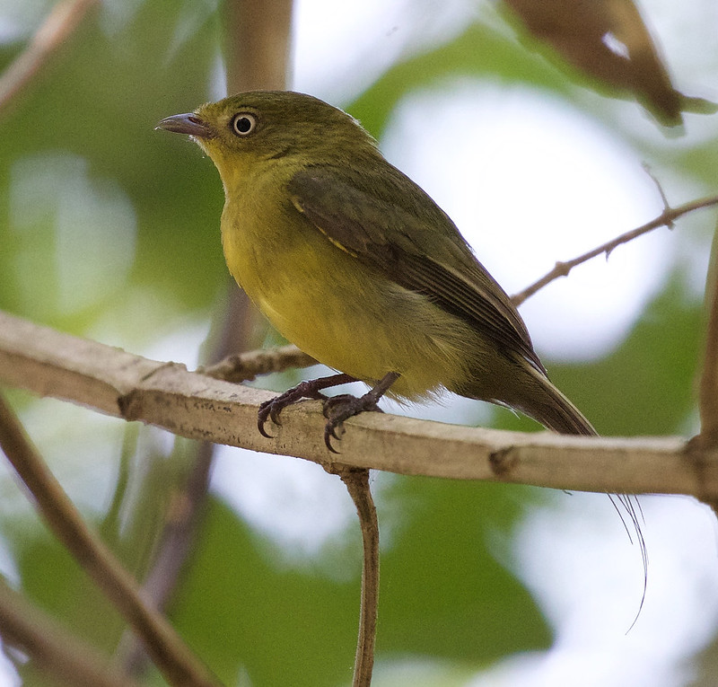 Wire-tailed Manakin_Pipra filicauda_Ascanio_Colombia Llanos_DZ3A2081