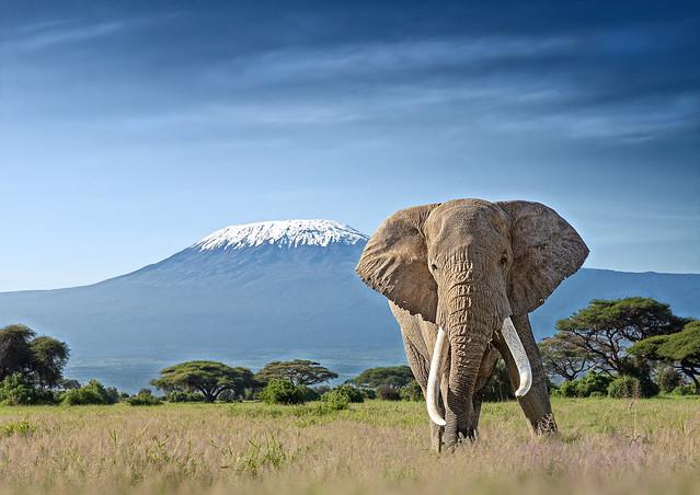 Bull Elephant (Teejay)