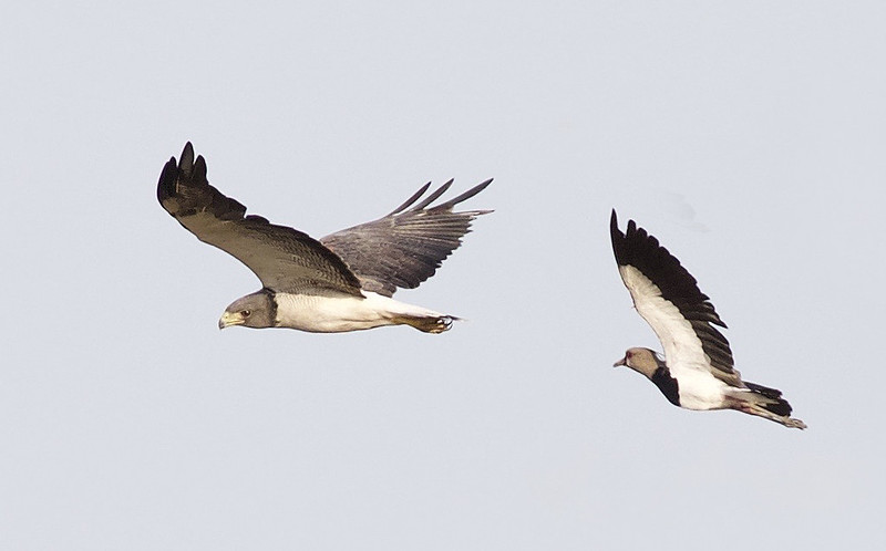 White-tailed Hawk attacked by Southern Lapwing_Llanos Colombia_Ascanio_