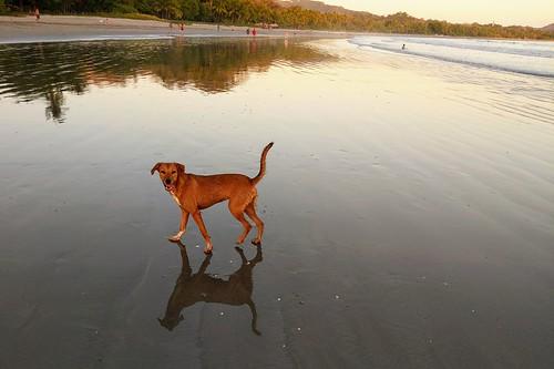 beach sand reflection dog beachdog sunset nicoyapeninsula guanacaste playasámara playasamara sámara samara costarica rica