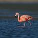 Chilean Flamingo  (X02_9296-1)