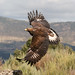 Golden Eagle female juv