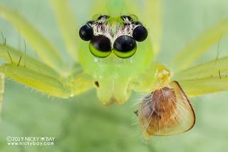 Jumping spider (Onomastus sp.) - DSC_4095b