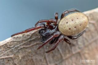 Orb weaver spider (Milonia sp.) - DSC_3983