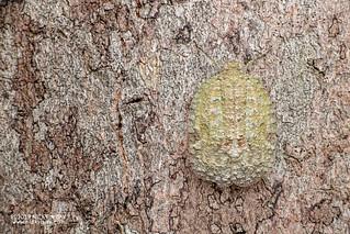 Planthopper (Thessitus sp.) - DSC_3906