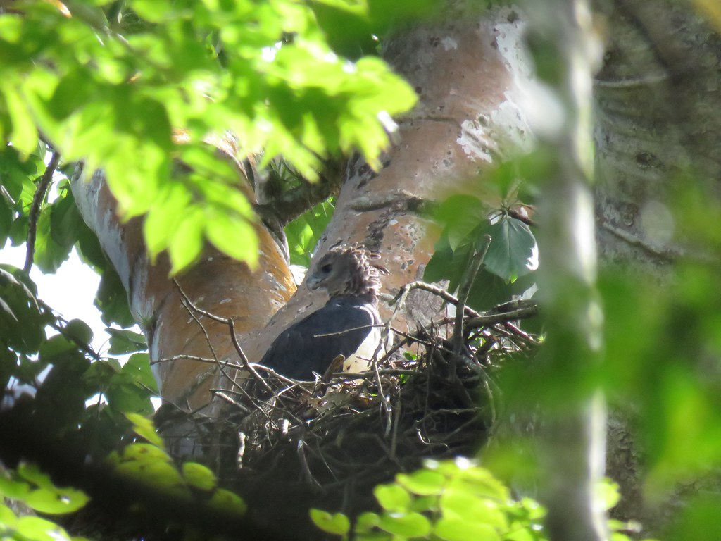 Panama 2019 Darién Harpy Eagle at the nest, harpyija pesällään